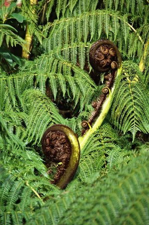 Fern fronds opening in Spring photo