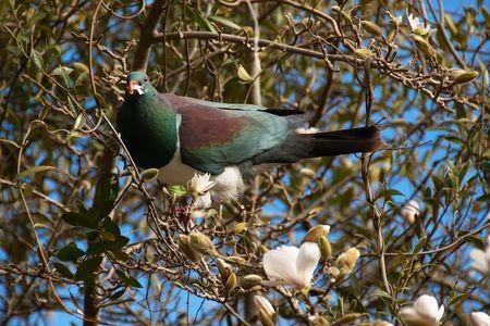 Endemic bird Kererū (New Zealand Pigeon, Wood Pigeon, Hemiphaga novaeseelandiae) feeding on fresh yummy magnolia blossoms photo