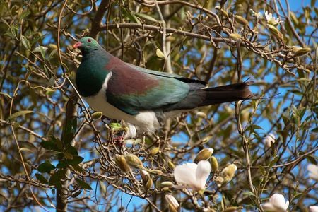 Endemic bird Kererū (New Zealand Pigeon, Wood Pigeon, Hemiphaga novaeseelandiae) sitting on magnolia tree full of blossoms and opening buds photo