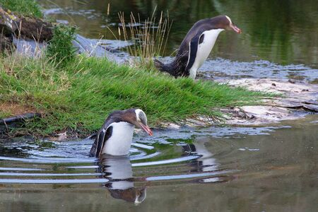 Two adult Yellow-eyed Penguins (Megadyptes antipodes, Hoiho) entering a pond, water surface reflecting their images photo