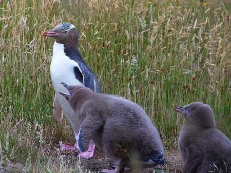 Adult Yellow-eyed Penguin (Megadyptes antipodes, Hoiho) on a grassy area, his two hungry chicks are lining up for food photo