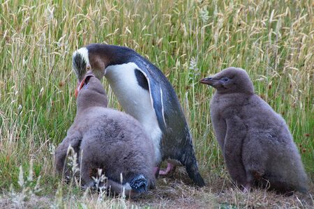 Adult Yellow-eyed Penguin (Megadyptes antipodes, Hoiho) on a grassy area feeding his two fluffy brown chicks photo