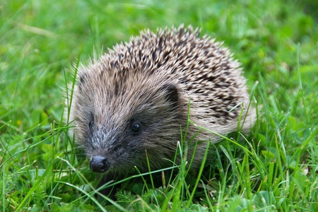 spiky: Young spiky hedgehog looking for food