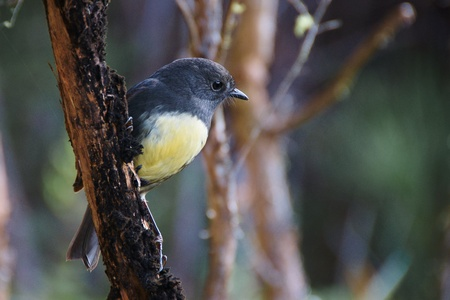 South Island Robin perched on a branch, Silver Peaks, Dunedin, New Zealand Stock Photo - 10024645