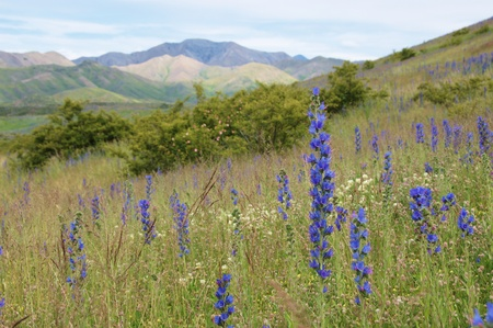 Viper's Bugloss (Blueweed, Echium vulgare) and wild rose bushes on Molesworth Station, South Marlborough, New Zealand photo