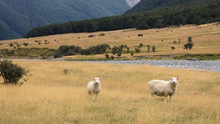 Sheep grazing in Matukituki Valley, West Branch, Mount Aspiring National Park, Otago, New Zealand photo