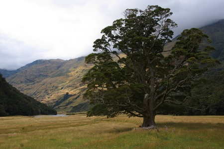 aspiring: Solitary beech tree in the middle of grassy flat of Matukituki Valley, West Branch, Mount Aspiring National Park, New Zealand