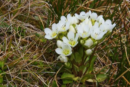 Gentian cluster in Cascade Saddle, Mount Aspiring National Park, New Zealand photo