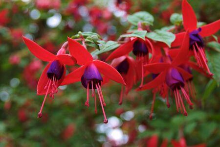 flores fucsia: Rojo y p�rpura flores fucsia
