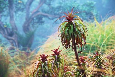 pineapple tree: Pi�a �rbol Dracophyllum, Tuatapere Humpridge Pista, Southland, Nueva Zelanda Foto de archivo