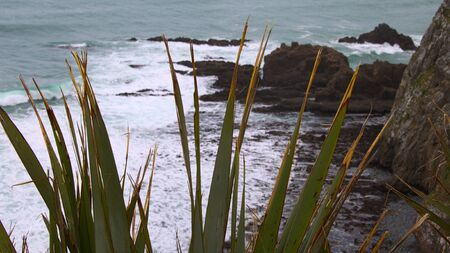 dropoff: Weathered leaves of flax plants (Phormium tenax, harakeke) above a steep drop-off and a rocky beach, Nugget Point, Catlins, Otago, New Zealand Stock Photo