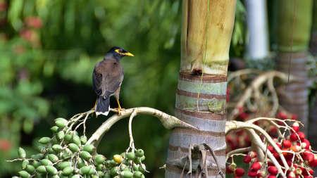rarotonga: Mynah uccello seduto sul manila palma, Rarotonga, nelle Isole Cook Archivio Fotografico