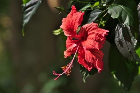 rarotonga: Ibisco rosso fiore, Rarotonga, nelle Isole Cook