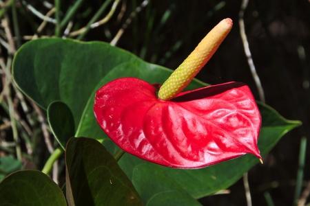 rarotonga: Red anthurium fiore, Rarotonga, nelle Isole Cook