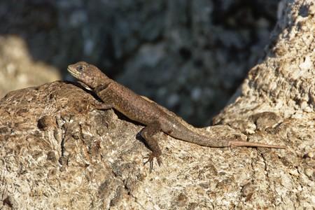 mesas: Small lizard  Lagartixa , Carolina, Chapada das Mesas, Maranho, Brazil
