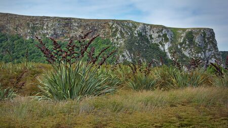new zealand flax: Flax bushes near Pyramids, Otago Peninsula, New Zealand