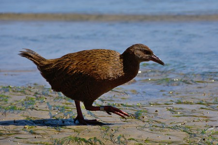 Stewart Island Weka  Gallirallus australis scotti  on the beach, Ulva Island, New Zealand photo