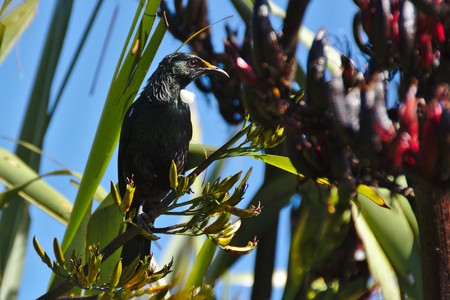 new zealand flax: Tui on flax bush and blue sky, Stewart Island, New Zealand Stock Photo