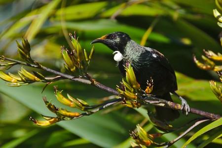 new zealand flax: Tui on flax branch looking, Stewart Island, New Zealand