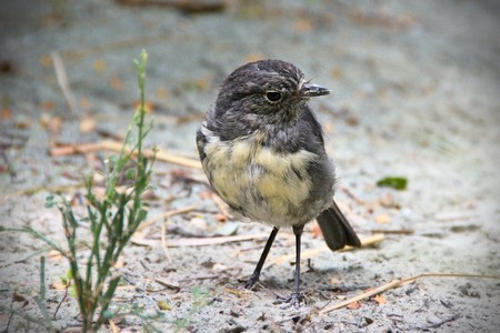 South Island Robin and a plant, Rock Burn Valley, Mount Aspiring National Park, West Coast, New Zealand photo