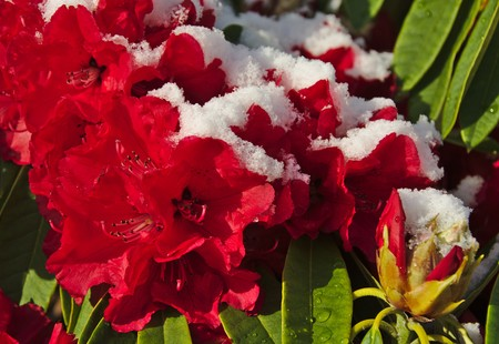 killings: Bright red rhododendron flowers with snow
