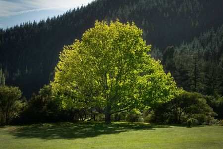 nelson: Solitary backlit maple tree, Brightwater, Nelson, New Zealand