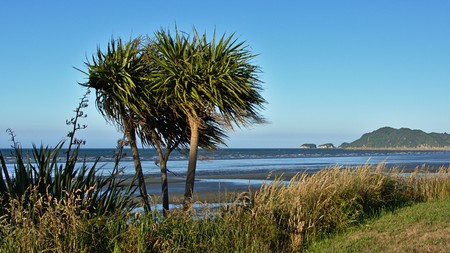 new zealand flax: Cabbage tree, Pohara Beach, Tasman, New Zealand