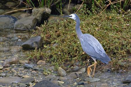 tasman: White-faced heron walking, Collingwood, Tasman, New Zealand