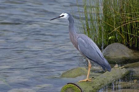 tasman: White-faced heron fishing, Collingwood, Tasman, New Zealand
