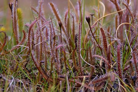 carnivore: Carnivore plants Sundew (Drosera), Takitimu Mountains, Southland, New Zealand Stock Photo