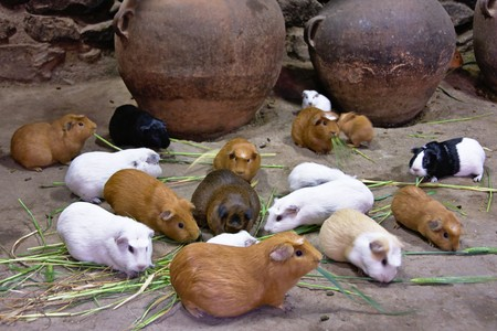sacred valley of the incas: Guinea pigs (cuy), Ollantaytambo, Sacred Valley of the Incas, Cusco, Peru Stock Photo