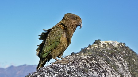 Wind ruffling Keas feathers, Mount Titiroa, Fiordland National Park, New Zealand Stock Photo