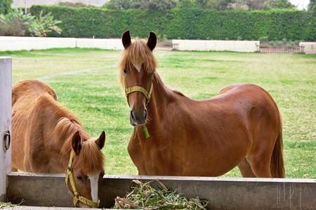 trough: Young Peruvian Paso horses by trough