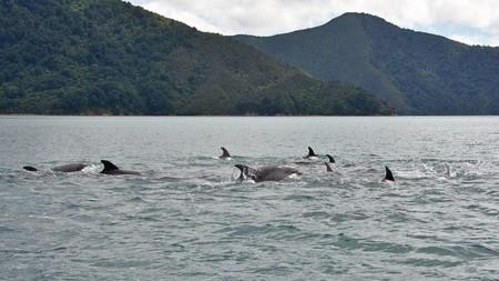 marlborough: Dolphin pod, Nydia Bay, Pelorus Sound, Marlborough, New Zealand Stock Photo