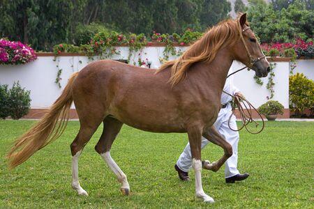 headcollar: Young Peruvian Paso horse Stock Photo