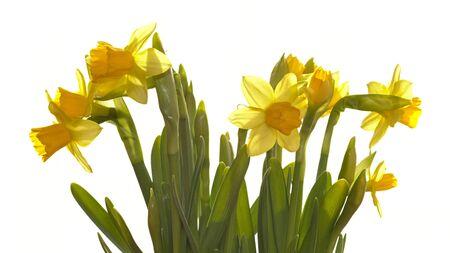 daffodils: Yellow daffodils in high-key Stock Photo