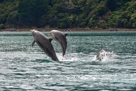 breaching: Breaching dolphins, Nydia Bay, Pelorus Sound, Marlborough, New Zealand Stock Photo