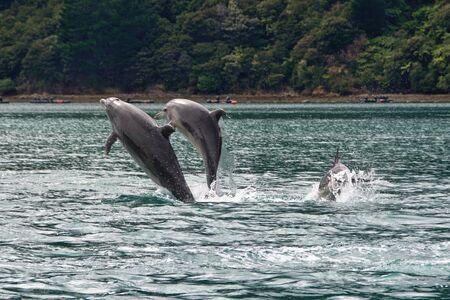 marlborough: Breaching dolphins, Nydia Bay, Pelorus Sound, Marlborough, New Zealand Stock Photo
