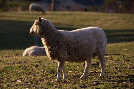 Shorn sheep in profile, Abbotsford, Dunedin, Otago, New Zealand