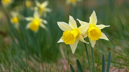 Two yellow daffodils, Dunedin botanic garden, Otago, New Zealand
