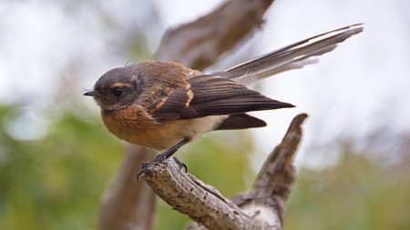 fantail: Fantail bird, Banks Peninsula, Canterbury, New Zealand