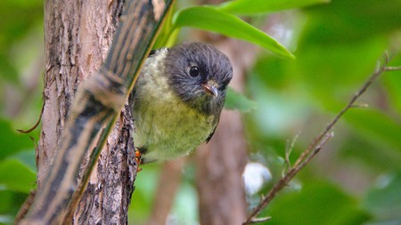 Tomtit peeping out, Silver Peaks, Dunedin, Otago, New Zealand Stock Photo