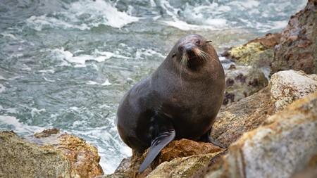 animal mole: New Zealand Fur Seal climbing rocky shore, Aramoana Mole, Dunedin, Otago, New Zealand Stock Photo