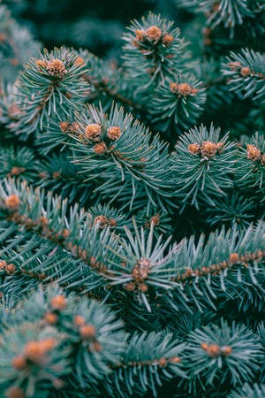 background, texture pine branches green blue with young cones