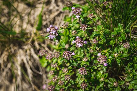 Bush flowering thyme in the mountains. Medicinal plants, background of pink flowers. Ethnoscience.