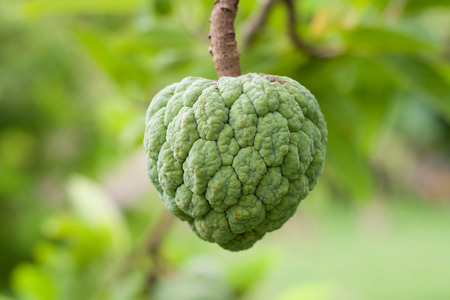 annona: Custard apples or Sugar apples or Annona squamosa growing on a tree in garden at Thailand . Thai fruit . Foto de archivo