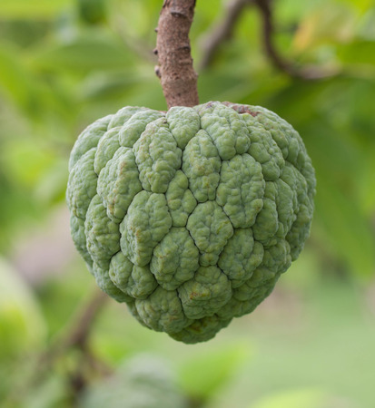 annona squamosa: Custard apples or Sugar apples or Annona squamosa growing on a tree in garden at Thailand . Thai fruit . Stock Photo