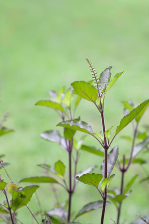 tulasi: Holy basil or tulsi  is an aromatic plant cultivated for religious , medicinal purposes , cooking and for essential oils .