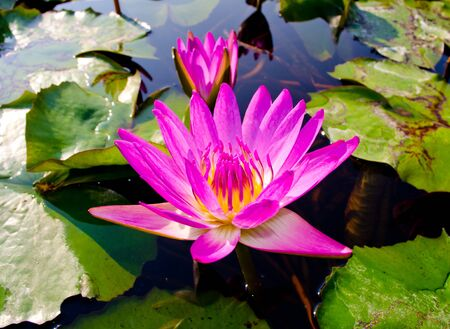 Thai pink water lily with lotus leaf on pond