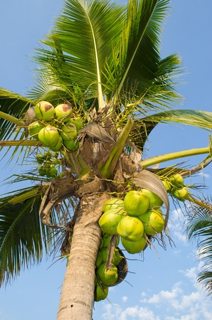 Thai coconut at Chiangmai. Stock Photo